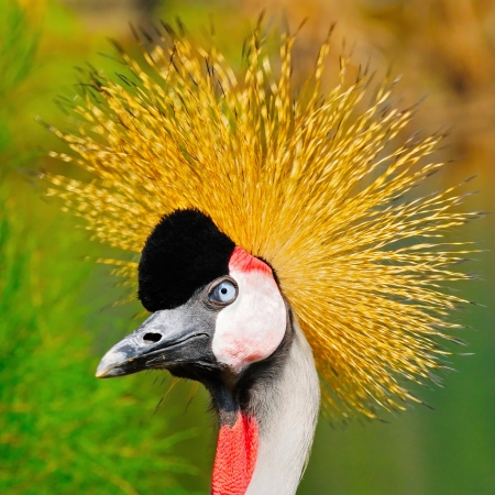 Head shot bird of Grey Crowned Crane (Balearica regulorum)