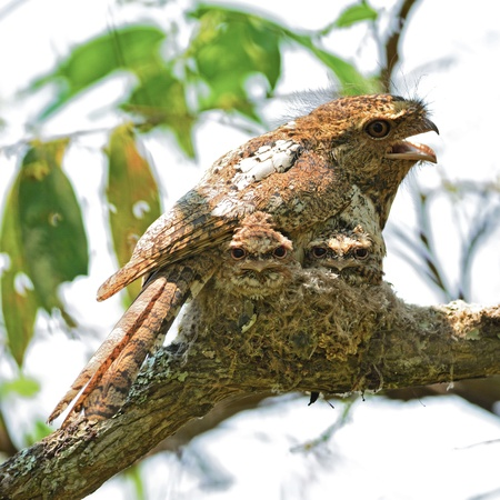 Amazing bird, Hodgsons Frogmouth with its  two juvenile chicks in the nest , taken in Thailand
