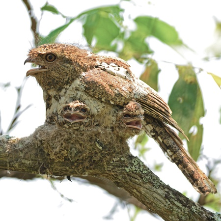 Colorful Frogmouth bird, Hodgson's Frogmouth, the bird that you must see before you die, with its  two juvenile chicks in the nest , taken in Thailand, during the day this duty responsibility with male Stock Photo - 21214952