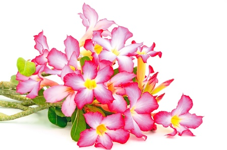 impala lily: Colorful flower, Impala Lily, a beautiful red flower isolated on a white background