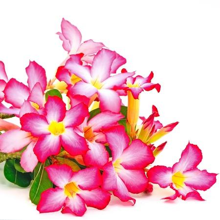 plantas del desierto: Flor de verano de Impala Lily, una hermosa flor roja aislado en un fondo blanco