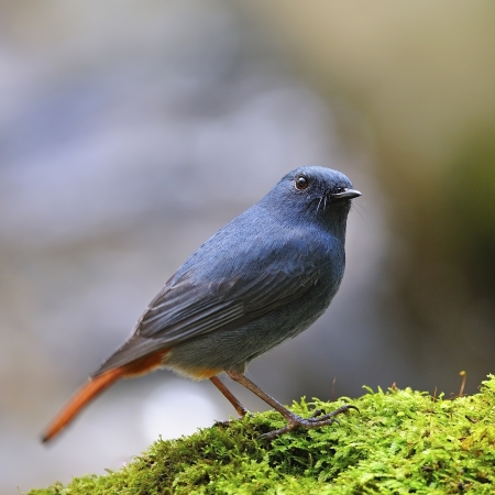 Beautiful blue bird, male Plumbeous Redstart (Rhyacomis fuliginosa), side profile
