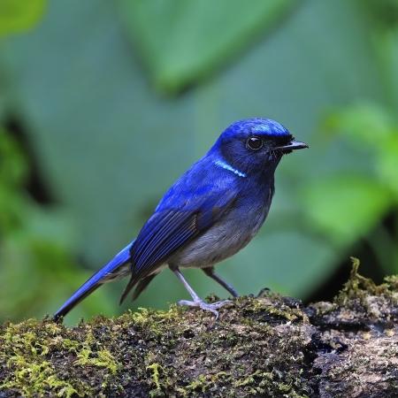 Beautiful blue bird, male Small Niltava(Niltava macgrigoriae), standing on the log 版權商用圖片