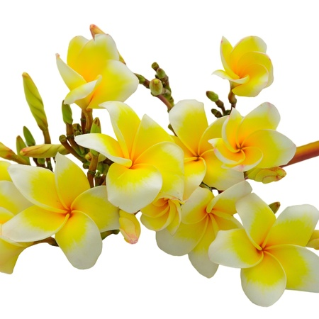 Beautiful white and yellow Plumeria flower, tropical flower isolated on a white background photo