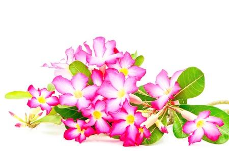 Colorful red flower, Desert Rose-Impala Lily- Mock Azalea photo