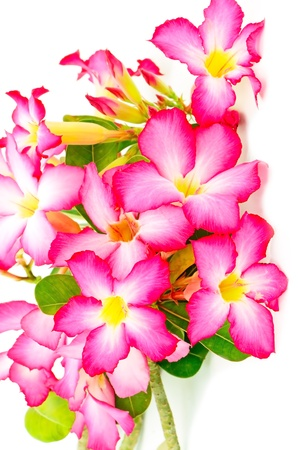 Beautiful flower, blossom of Desert Rose-Impala Lily- Mock Azalea, red form photo