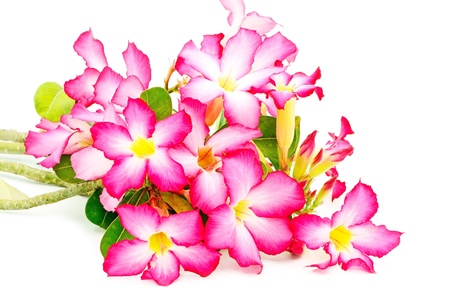 Colorful blossom red flower, Desert Rose-Impala Lily- Mock Azalea, red form photo