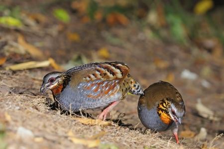 perdrix: Belle Partridge, couple de perdrix � gorge rousse (Arborophila rufogularis) sur le terrain, prise en Tha�lande