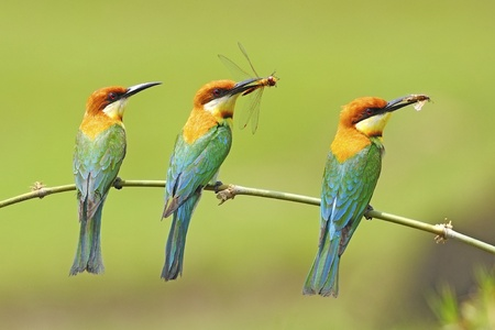 Three of beautiful Chestnut-headed Bee-eater (Merops leschenaulti) with prey on a branch