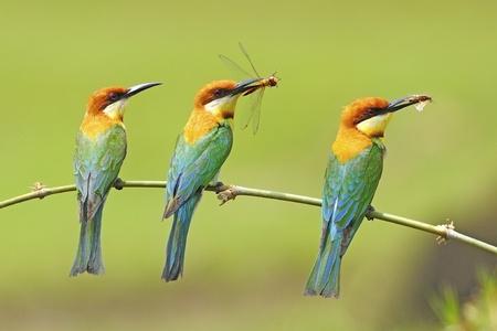 Trois magnifiques châtaigniers tête Bee-eater (Merops leschenaulti) avec des proies sur une branche Banque d'images - 21215881
