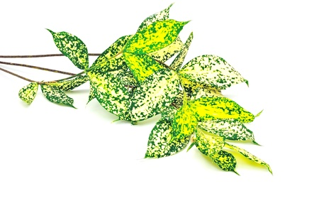 golddust: Foliage leaves of dracaena, Gold-dust dracaena or Spotted dracaena, isolated on a white background