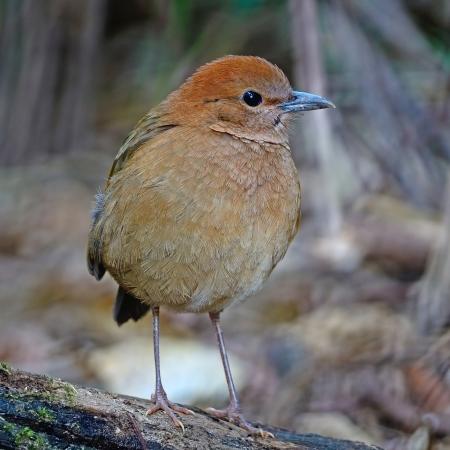 lang: A female Rusty-naped Pitta (Pitta oatesi) at Doi Lang - North Thailand Birding