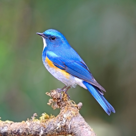 Oiseau bleu, mâle Himalaya Bluetail (Tarsiger rufilatus) sur une branche Banque d'images - 21215900