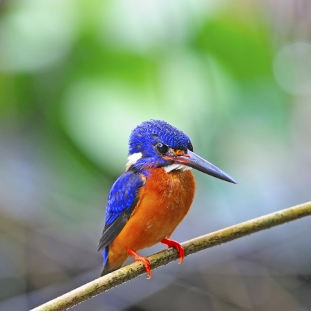 subaquatic: Cute Kingfisher, male Blued-eared Kingfisher (Alcedo meninting) sitting on a branch Stock Photo