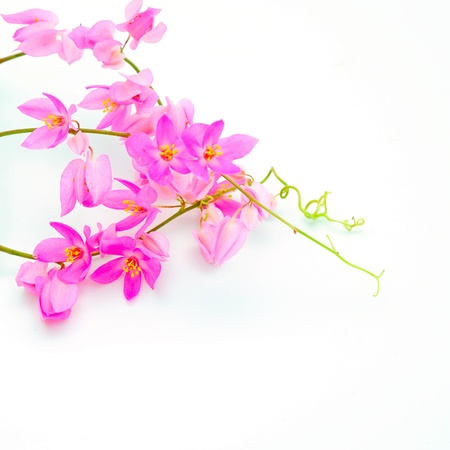 Beautiful pink flower, Coral Vine (Antigonon leptopus) isolated on a white background photo