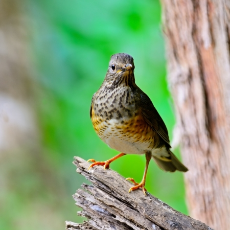 Beautiful bird, female Japanese Thrush (Turdus cardis), standing on the log, breast  profile, taken in Thailand photo