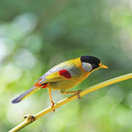leiothrix argentauris: A Golden Bird, Silver-eared Mesia (male), on a bamboo branch