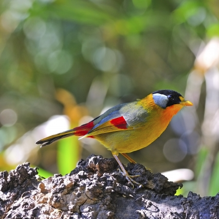 leiothrix argentauris: A Golden Bird, Silver-eared Mesia (male), on a log Stock Photo