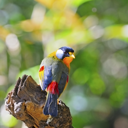 leiothrix argentauris: A colorful Golden Bird, Silver-eared Mesia (male), on a log Stock Photo