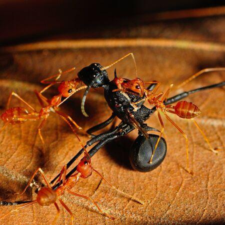 red ant: Hormiga roja comer hormigas negro Foto de archivo