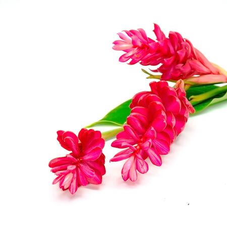 exotic flower: Exotic flower, Red Ginger or Ostrich Plume (Alpinia purpurata) isolated on a white background