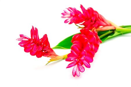 alpinia: Tropical flower, Red Ginger or Ostrich Plume (Alpinia purpurata) isolated on a white background