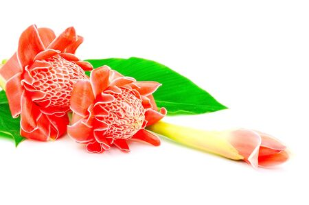 Beautiful red flower, Torch Ginger (Etlingera elatior) isolated on a white background photo