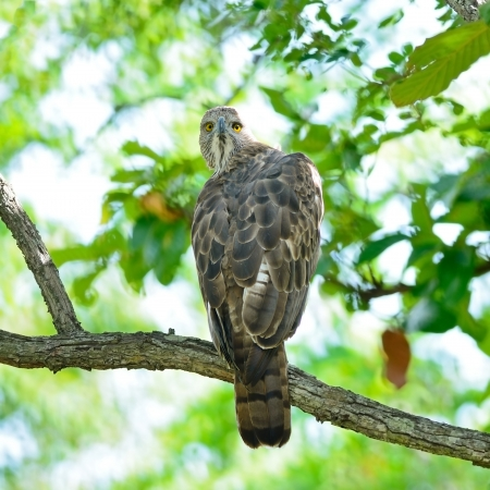 fulvous: Changeable Hawk Eagle (Nisaetus limnaeetus), standing on a branch