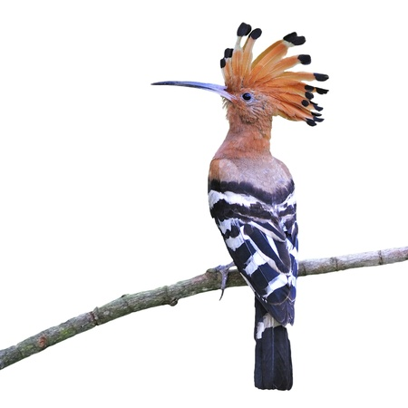 Colorful Hoopoe, Eurasian Hoopoe (Upupa epops), back profile, standing on a branch, isolated on a white background Stock Photo