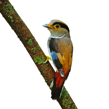A female Silver-breasted Broadbill (Serilophus lunatus), back profile with the green background, isolated on a white background photo