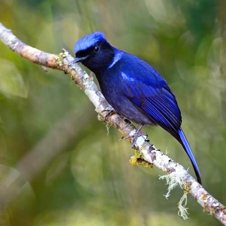 Beautiful blue bird, male Large Niitawa (Niltawa grandis) on a branch Imagens