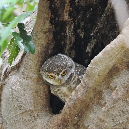 Spotted Owlet (Athene brama), standing on its hole
