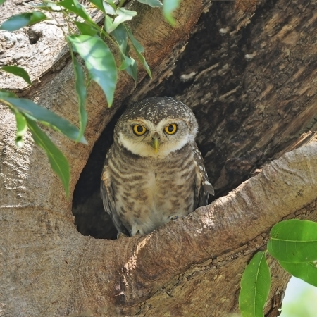 Spotted Owlet (Athene brama), resting on its hole Banco de Imagens