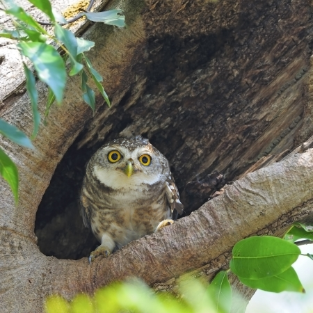 A cute Owlet, Spotted Owlet (Athene brama), resting on its hole Banco de Imagens