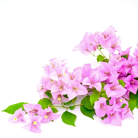 Purple bougainvillea flower, tropical flower isolated on a white background photo