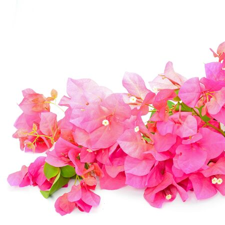 Red bougainvillea flower, tropical flower isolated on a white background photo