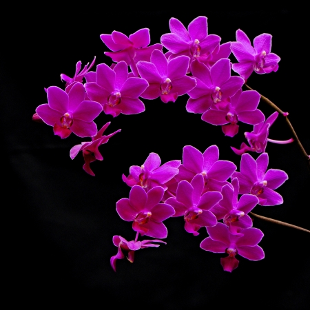 Beautiful deep pink orchid, Phalaenopsis hybrid photo