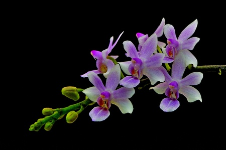 Beautiful orchid, Phalaenopsis hybrid on black background photo