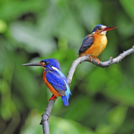 subaquatic: Couple lovers of blue Kingfisher, Blued-eared Kingfisher (Alcedo meninting) sitting on a branch