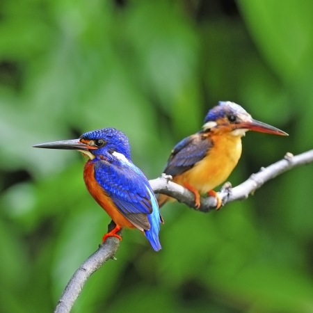 subaquatic: Male and female Blued-eared Kingfisher (Alcedo meninting) sitting on a branch Stock Photo