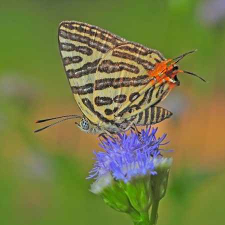 silverline: Club Silverline,Spindasis syama, White butterfly with orange tail standing on a purple flower