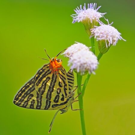 silverline: Beautiful Club Silverline,Spindasis syama, White butterfly with orange tail standing on a purple flower