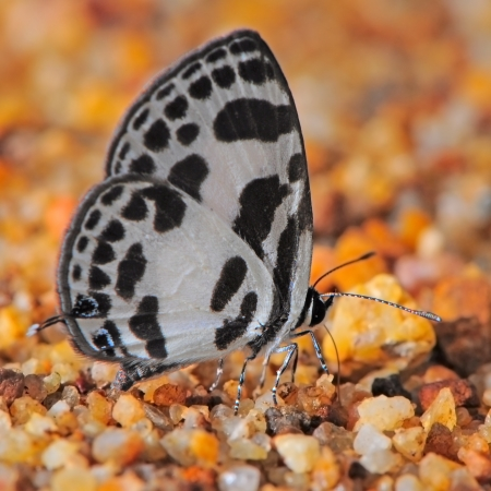 pierrot: Black and white butterfly (Common Pierrot) on the rock ground  Stock Photo