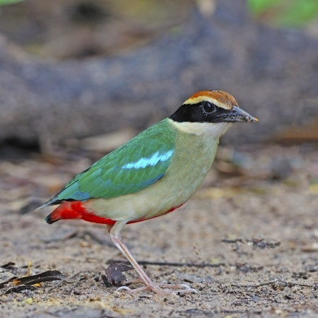 Colorful Pitta, Fairy Pitta (Pitta nympha) on the ground photo
