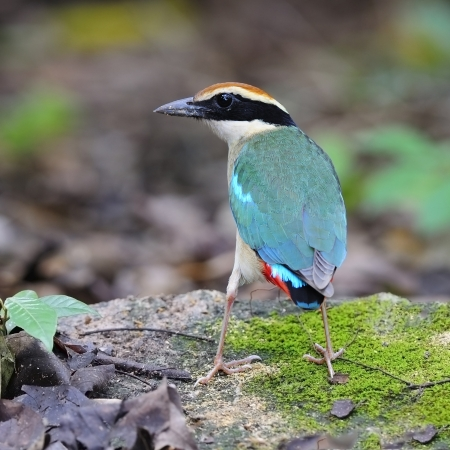nympha: Colorful Pitta, Fairy Pitta (Pitta nympha) on the green nature background