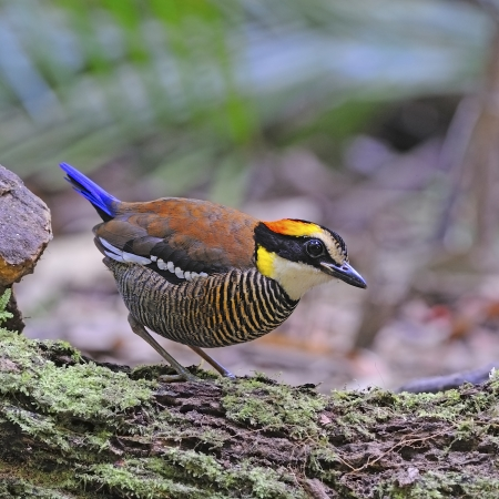 Colorful Pitta, female Malayan Banded Pitta (Pitta irena) standing on the log photo