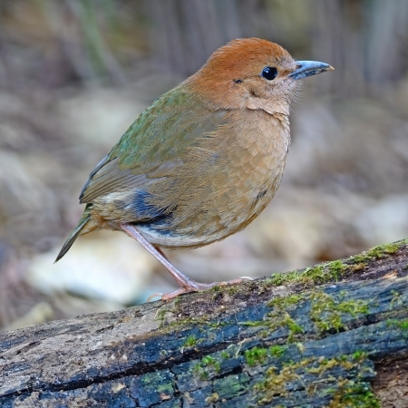 lang: Classic colorful of Pitta, female Rusty-naped Pitta (Pitta oatesi) at Doi Lang - North Thailand Birding Stock Photo