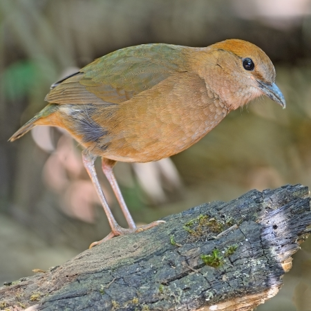 lang: A female Rusty-naped Pitta (Pitta oatesi) at Doi Lang - North Thailand Birding on the log