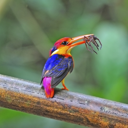 Multicolored Kingfisher, female Black-backed Kingfisher (Ceyx erithacus) with spider for its chicks photo