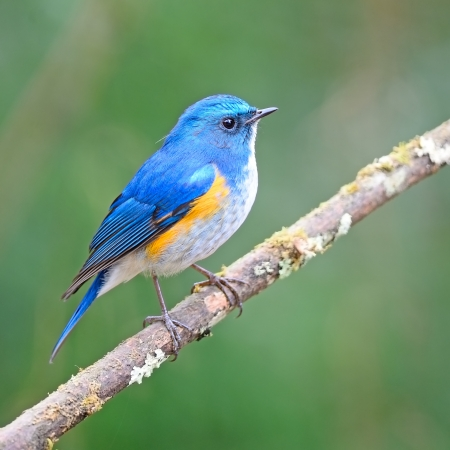 Oiseau bleu magnifique, mâle Himalaya Bluetail (Tarsiger rufilatus) sur une branche Banque d'images - 21266178